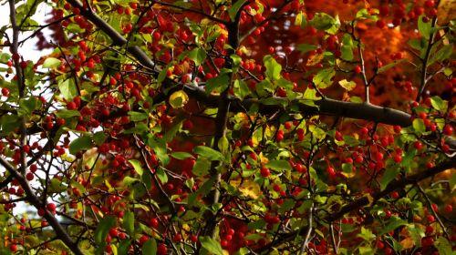 Berries Tree Background