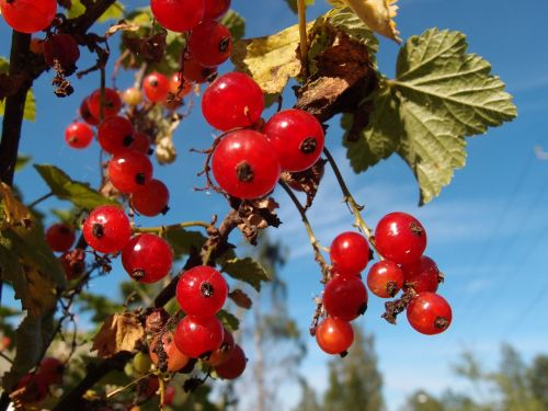 berry autumn berry clusters