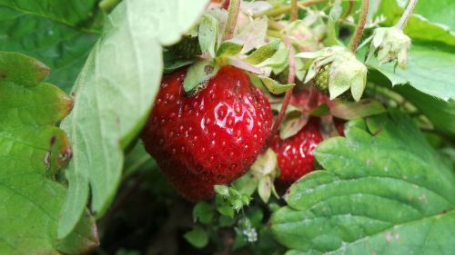 berry in the summer of red