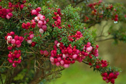 berry berries pink