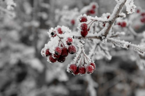 berry winter cold