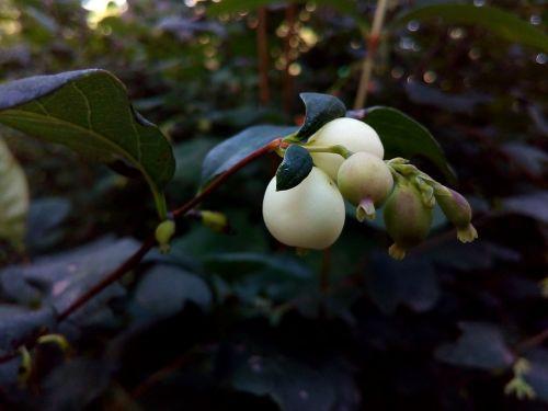 berry white snowberry