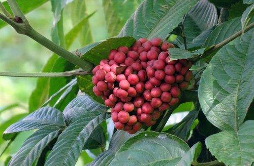 berry  flora  plant