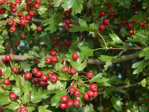 berry red tree bush
