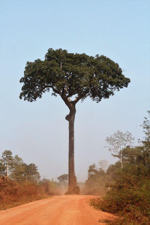 bertholletia excelsa brazil nut nut amazon