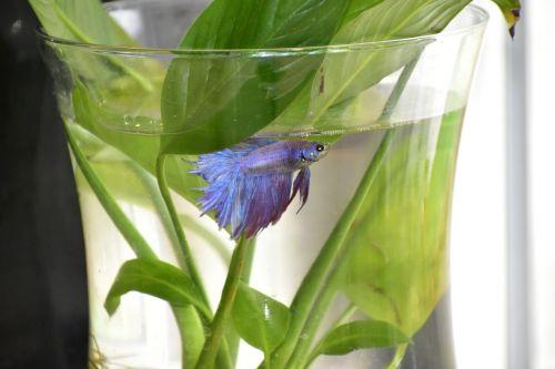 beta,žuvis,betta,gyvūnas,vandens,atogrąžų,spalvinga