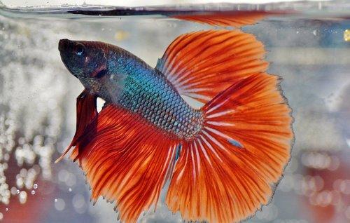 beta  warrior  aquarium