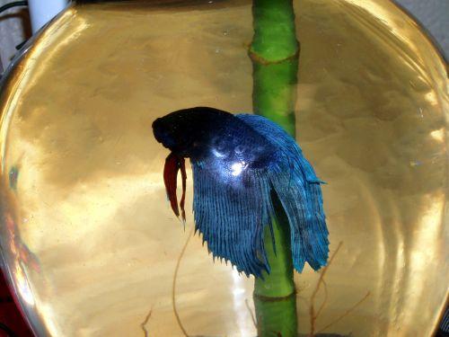 betta, žuvis, mėlynas, raudona, dubuo, Betta žuvis