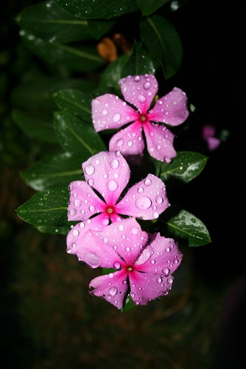 Bethlehem Star Flowering