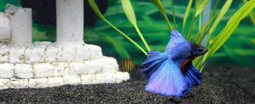 betta aquatic freshwater