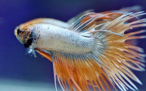 betta  warrior  aquarium
