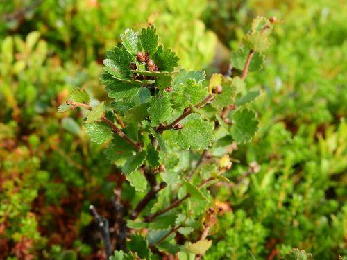 betula nana birch dwarf birch