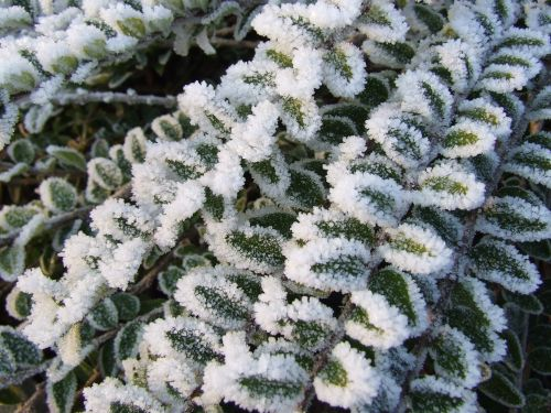 krūmas, ledo & nbsp, kristalai, sušaldyta, žalias, balta, sušaldyta krūmas