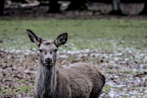 białowieża doe a female deer