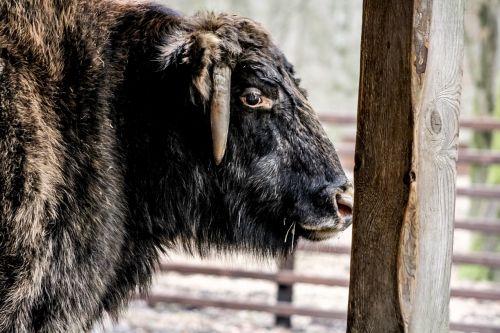 białowieża a zubron demonstration reserve