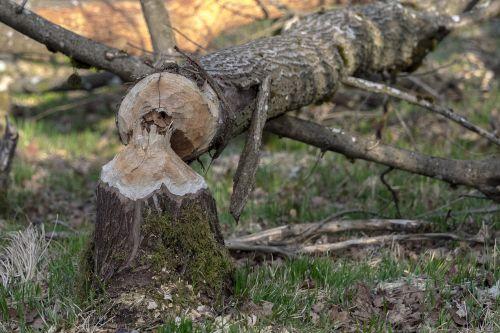 bieber log rodent