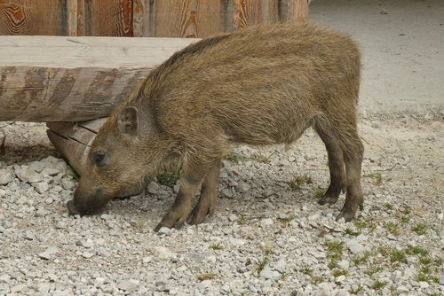big  frisling  young boar