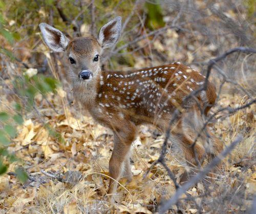 big bend texas deer