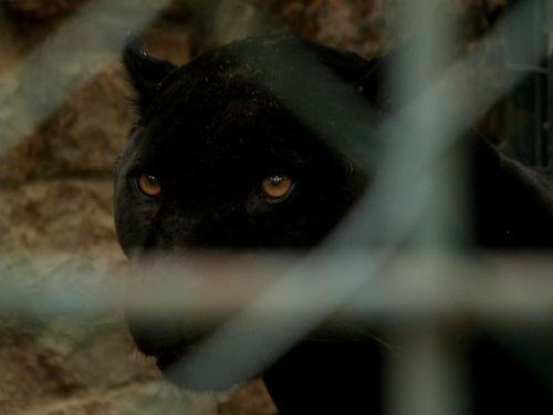 big cat panther looking