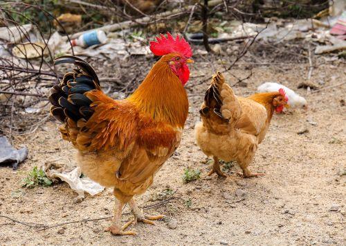 big cock cock flower cock
