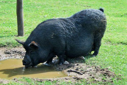 Big Fat Pig, Animal Farm, Ballito