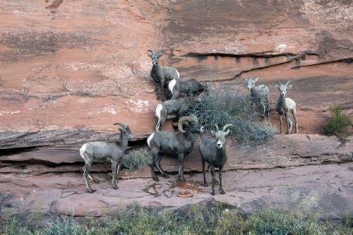 big horn sheep colorado mountain