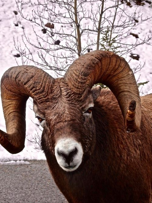big horn sheep ram wildlife