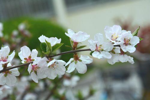 didelės lapinės sausosios vyšnios,gėlė,pavasaris