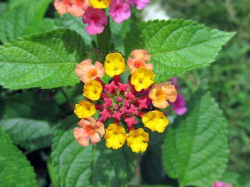 big sage lantana camara flowers