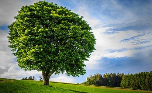 didelis medis, vienišas, dailus, Amžius, galingas, didelis, didelis, pobūdį, kraštovaizdis, miškas, mėlyna, registruoti