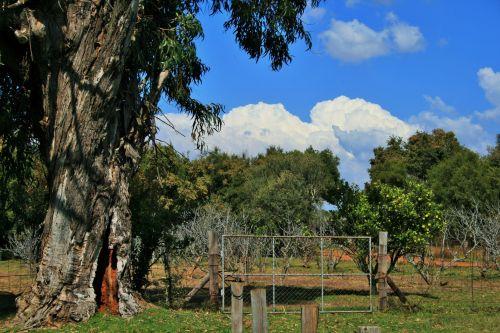Big Tree And Orchard