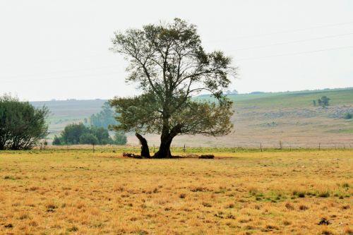 Big Tree In The Veld