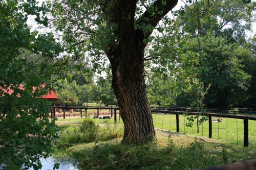 Big Tree, Irene Dairy Farm