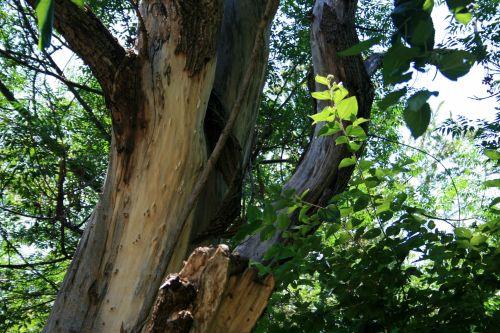 Big Trunk On Tree