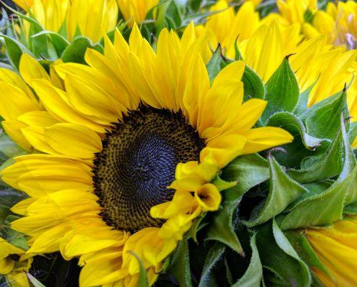 Big Yellow Sunflowers