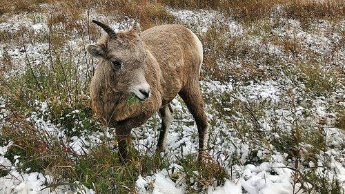 bighorn  sheep  wildlife