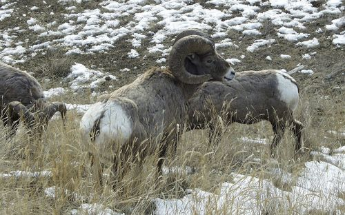 bighorn sheep animal