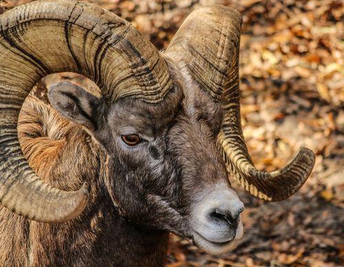 bighorn ram male horns