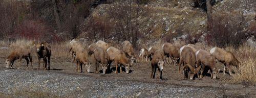 bighorn sheep animals herd