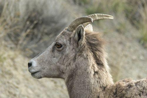 bighorn sheep bighorn ram horns