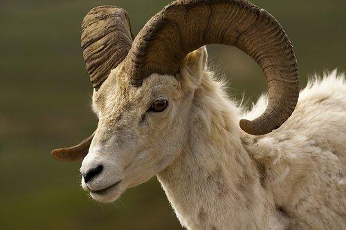 bighorn sheep  ram  male