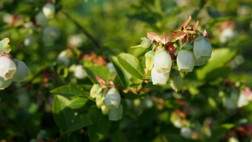 bilberry,bud,blooms,spring,nature,closeup,plant,twigs,green,flowers