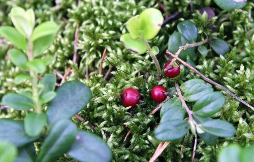 bilberry forest fruit