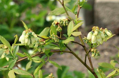 bilberry american  fruit shrub  flowering