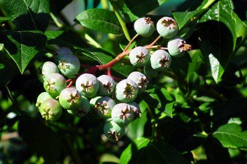 bilberry american  fruit  bush