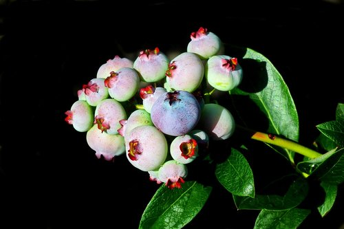 bilberry american  fruit  closeup