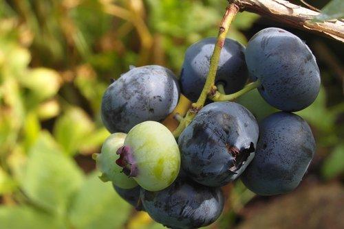 bilberry american  fruit  garden