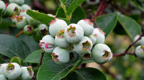 bilberry american  fruit  nature