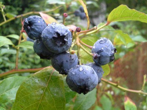 bilberry american fruit the plot
