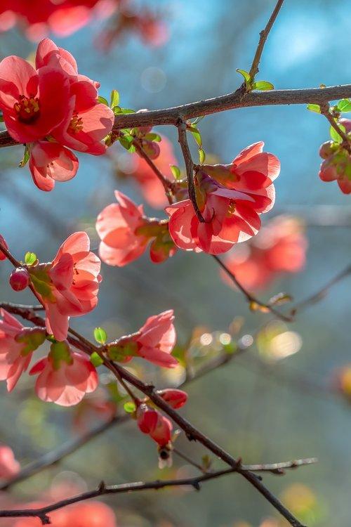 bill quince  blossom  bloom